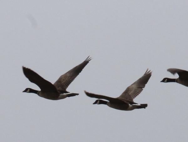 Cackling Geese, Lake Shirley, May 22, 2014.