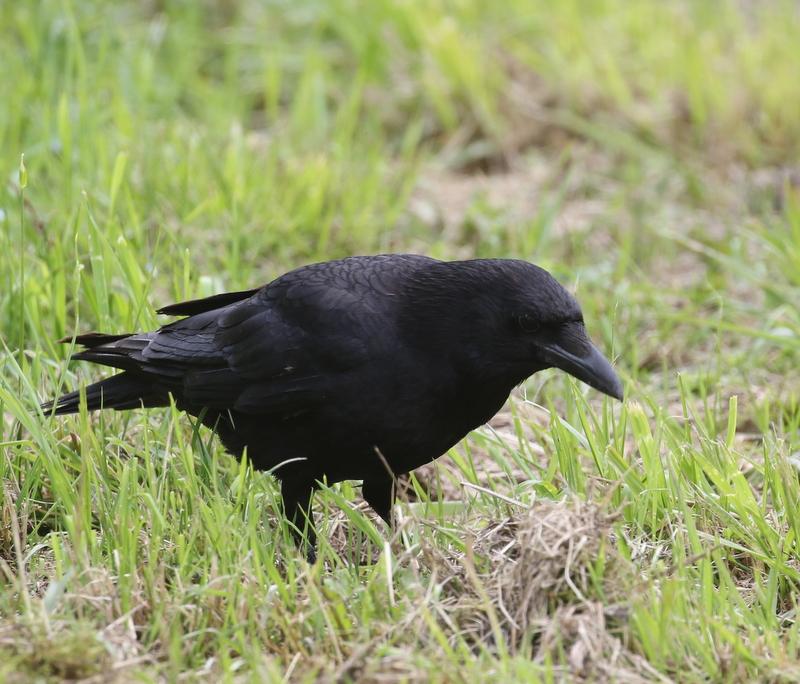Carrion Crow, Fanel, June 18, 2016