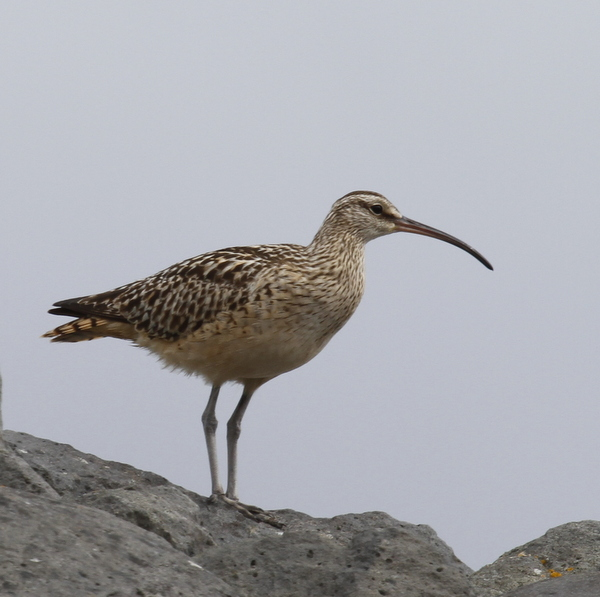 Bristle-thighed Curlew, Seawall, May 25, 2014. (two-legged variety)