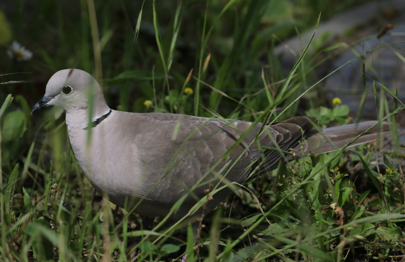 Eurasian Collared-Dove, Chavornay, June 19, 2016