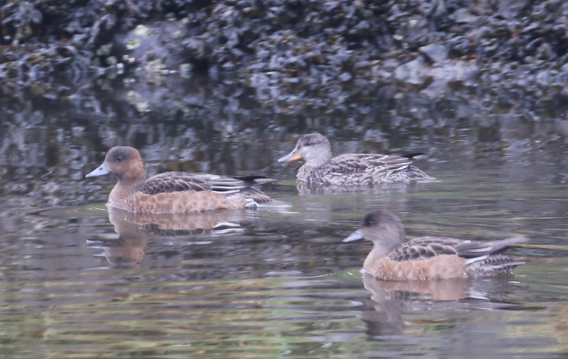 Two Eurasian Wigeon and a Common Teal, Sweeper Channel, September 16, 2016