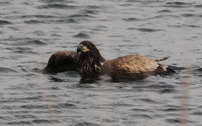 Embarrassed Bald Eagle, Clam Lagoon, Sept 25, 2015.