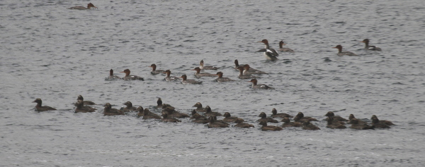 Common Eiders and Red-breasted Mergansers, Clam Lagoon, Sept 10, 2013.
