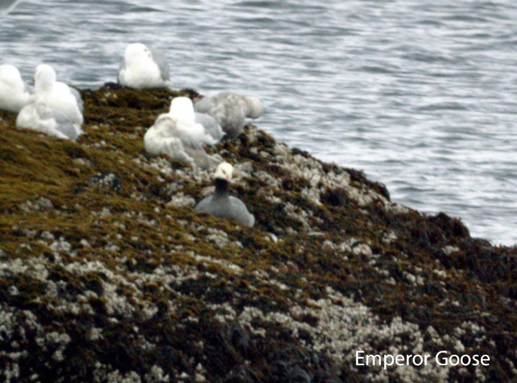 Emperor Goose, May 22, 2005, Goose Rocks.