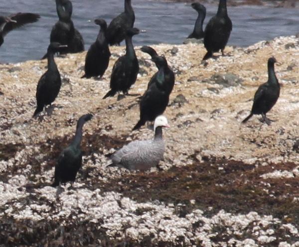 Emperor Goose (with cormorants), Goose Rocks, Sept 24, 2014