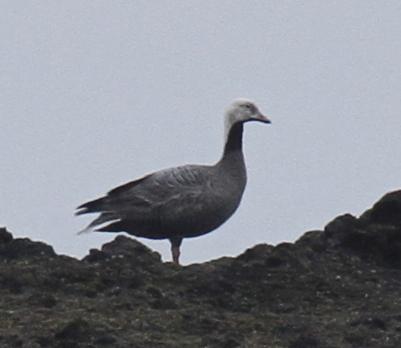 Emperor Goose, Goose Rocks, May 23, 2013.