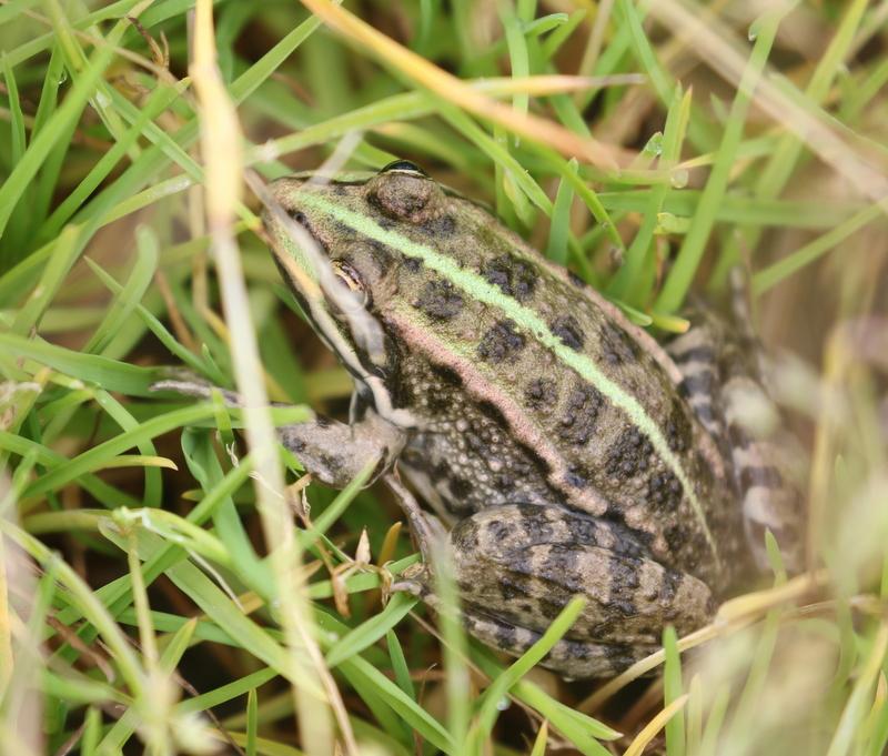 Frog, Chavornay, June 19, 2016