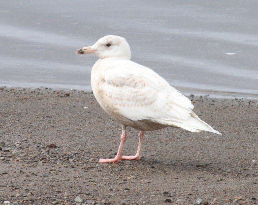 Glaucous Gull, May 16, 2011, Clam Lagoon.