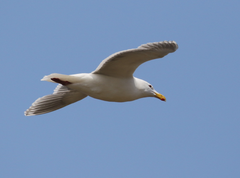 Glaucous-winged Gull, Loran Station, May 22, 2016