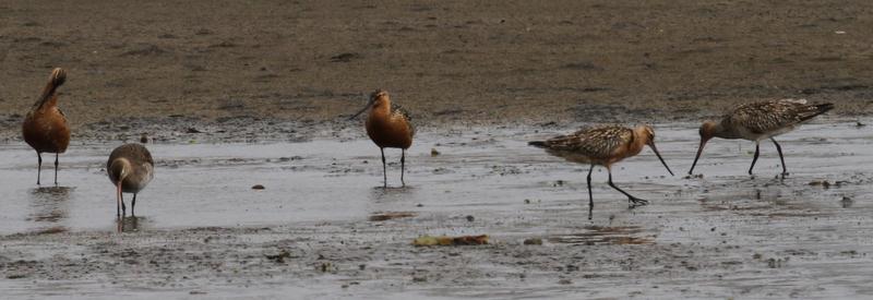 Bar-tailed Godwits, Clam Lagoon, May 20, 2015
