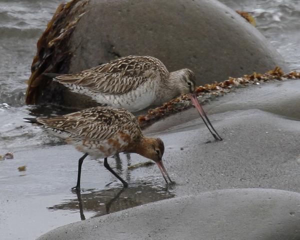 Bar-tailed Godwits, Clam Lagoon Seawall, May 26, 2014.