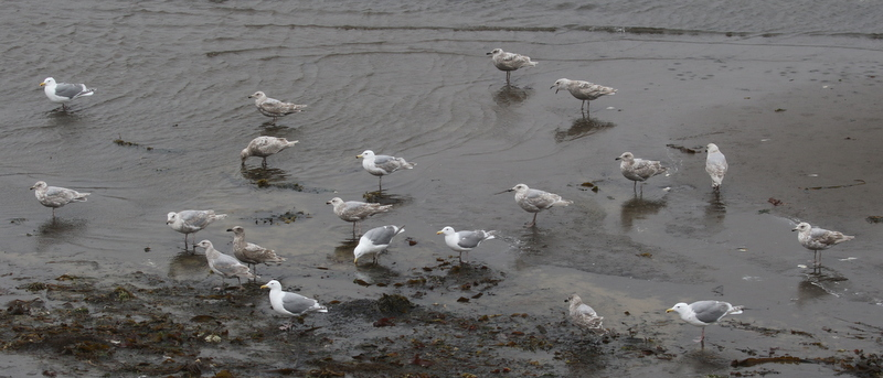 Glaucous-winged Gulls, Clam Lagoon, May 25, 2016