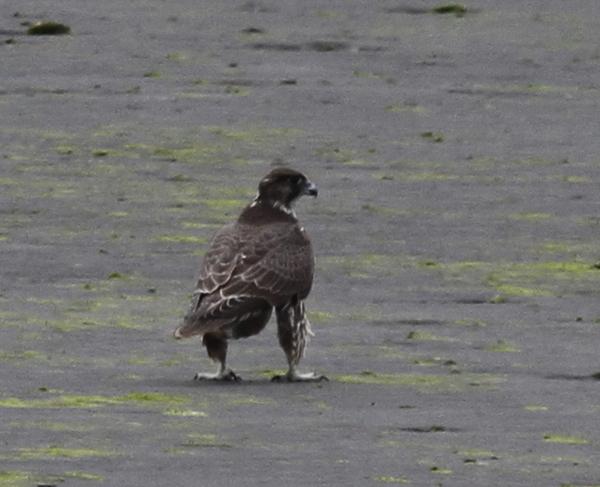 Gyrfalcon, Clam Lagoon, Sept 16, 2013.