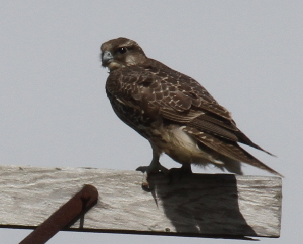 Gyrfalcon, road to Loran Station, Sept 18, 2014.