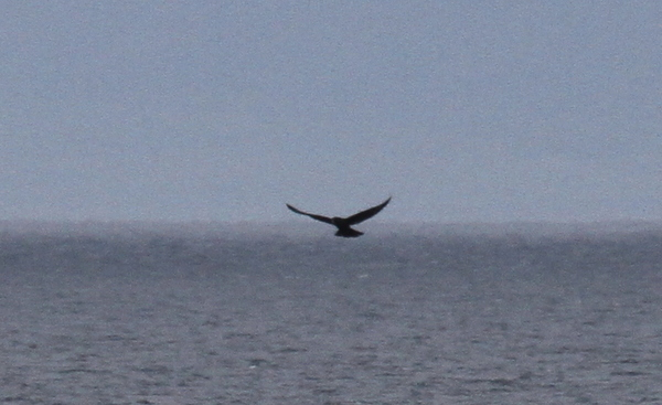 Gyrfalcon hunting over Sitkin Sound, Sept 16, 2013.