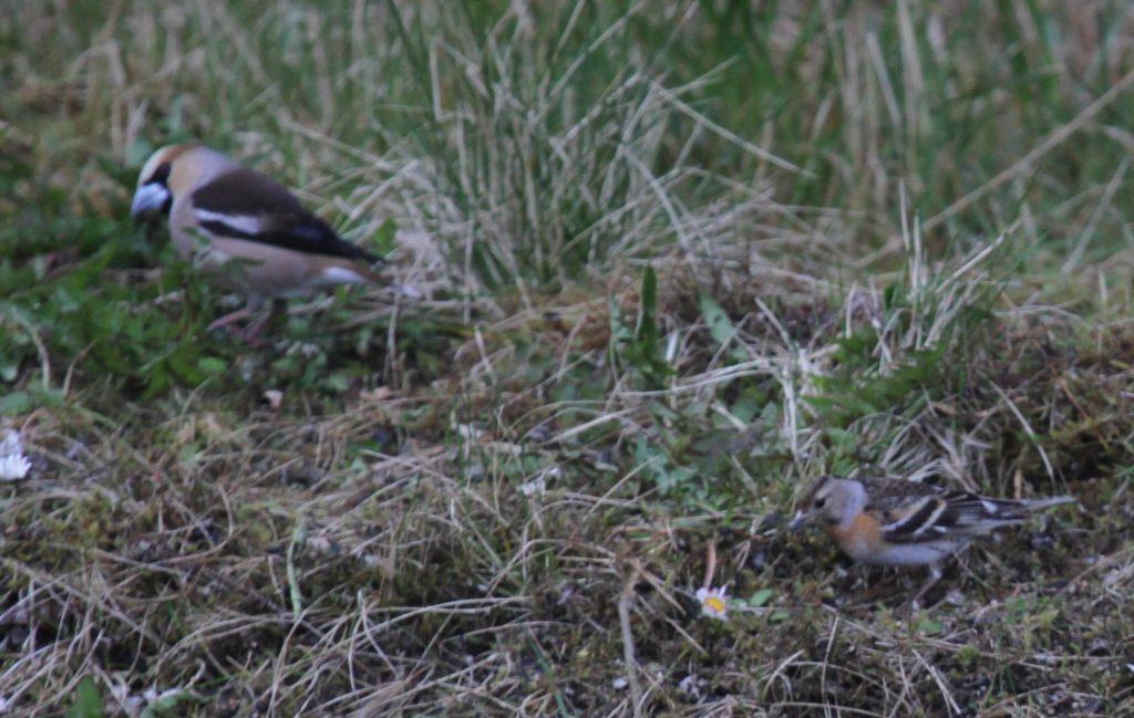 Hawfinches and Brambling, May 26, 2011, Naval Admin Bldg Feeder.
