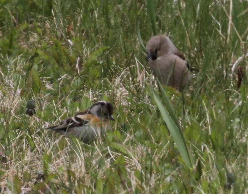 Brambling (left) and Hawfinch, Adak, May 24, 2015