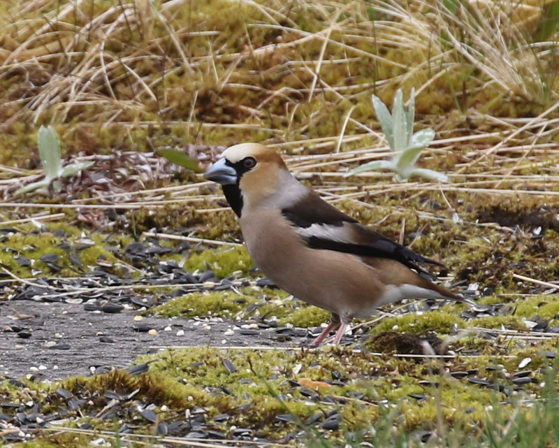 Hawfinch, Seal Drive Feeder, May 21, 2016