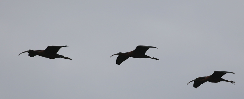 Glossy Ibis, Camargue, France, June 21, 2016