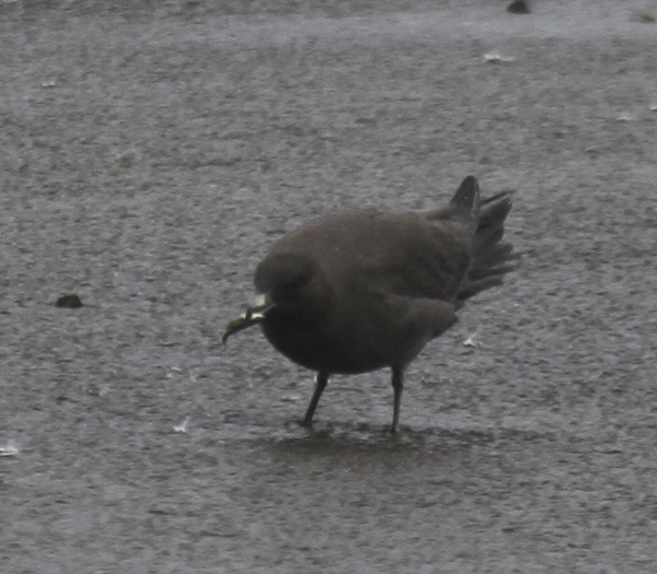 Parasitic Jaeger (with dinner), Clam Lagoon, Sept 11, 2013.