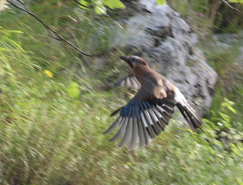 Eurasian Jay, Leuk, Switzerland, June 26, 2016