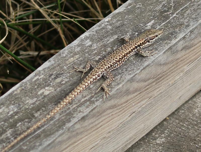Lizard, Camargue, France, June 21, 2016