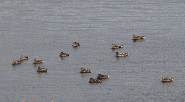 Mallards (and one Greater Scaup) on Lake Ronnie, Sept 17, 2014.