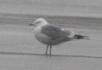 Mew Gull, May 25, 2005, Clam Lagoon.