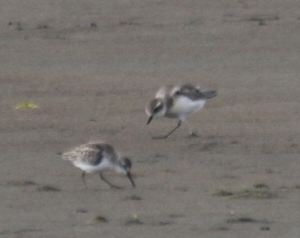 Mongolian Plover (right) with Western Sandpiper, Clam Lagoon, Sept 12, 2013