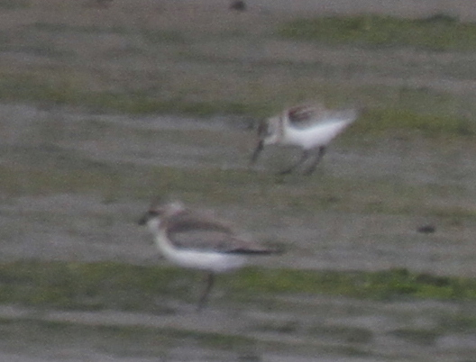 Mongolian Plover (front), Clam Lagoon, Sept 10, 2013.