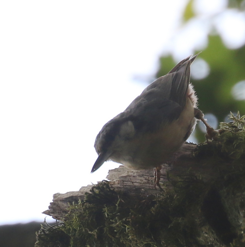 Eurasian Nuthatch, The Dombes, France, June 25, 2016