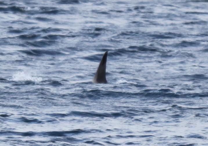 Orca, Sept 18, 2009, Seawall.
