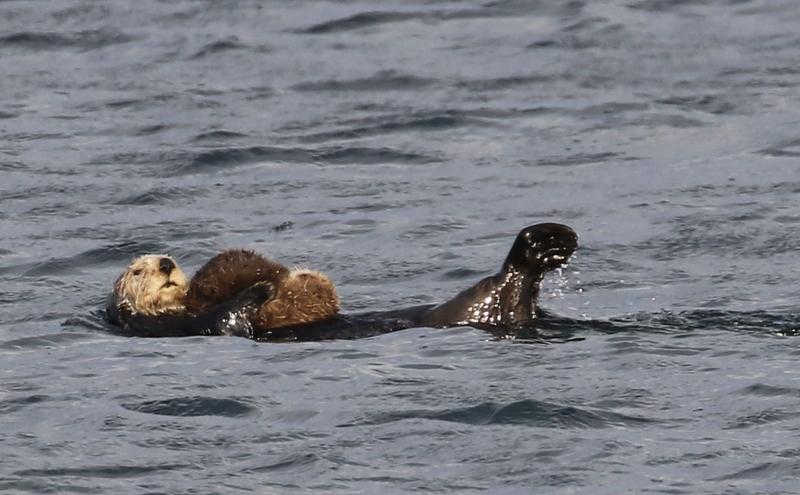 Sea Otter w/pup, Cla Lagoon, May 19, 2016