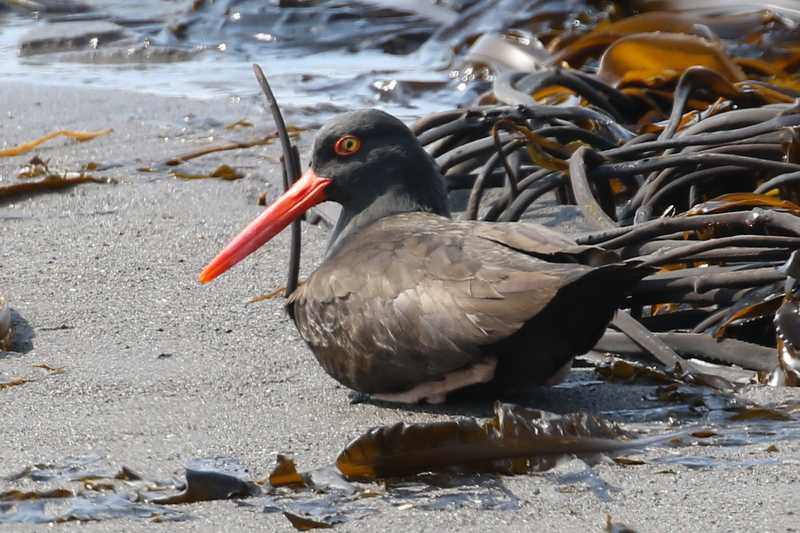 Black Oystercatcher resting, but keeping a wary eye open, Palisades Beach, May 22, 2016