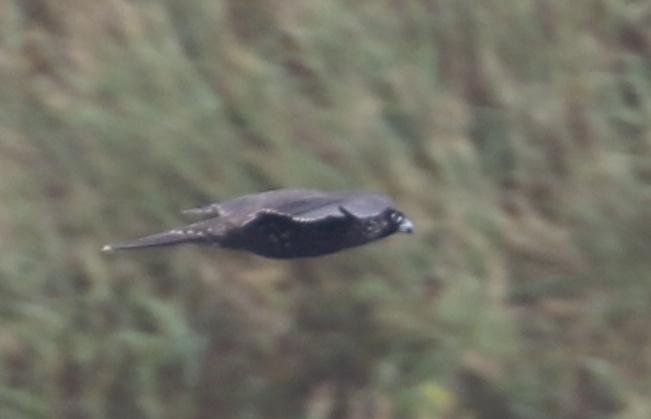 Peregrine Falcon, Lake Shirley, September 15, 2016