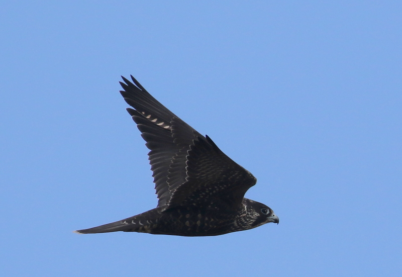 Peregrine Falcon, Clam Lagoon, September 21, 2016