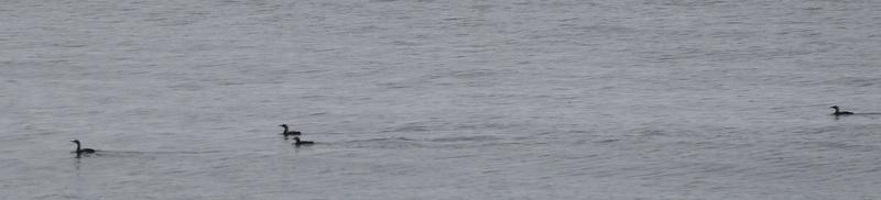 Pacific Loons, Seawall, May 27, 2016