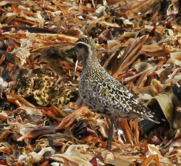 Pacific Golden-Plover, Seawall, Sept 17, 2013.