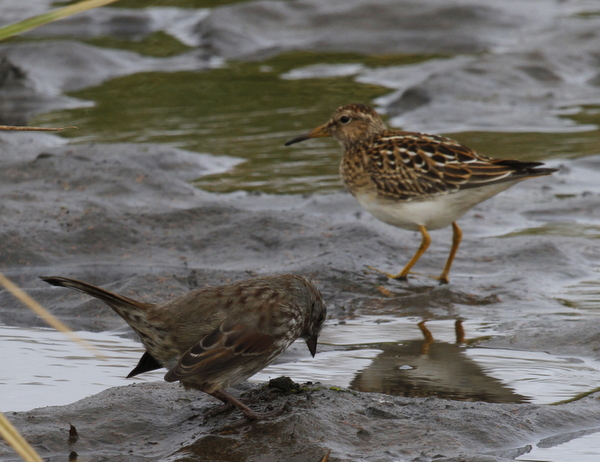 Pectoral Sandpiper and Song Sparrow, Clam Lagoon, Sept 15, 2013.