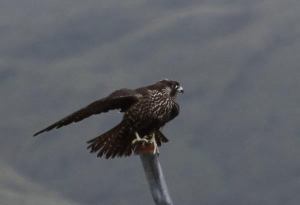 Peregrine Falcon Seawall, Sept 17, 2013.