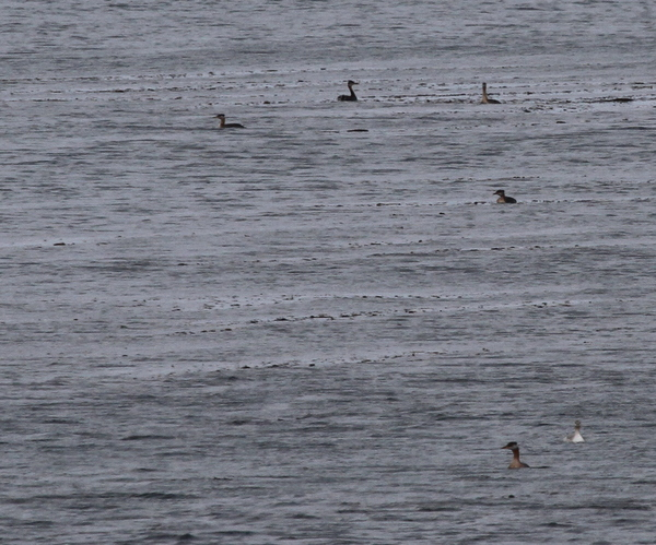 Red-necked Grebes, Seawall, Sept 16, 2013.