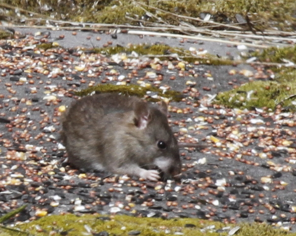 Norway Rat, Adak, May 21, 2014.