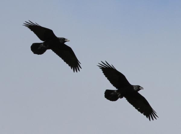 Common Ravens, Adak, Sept 17, 2013.