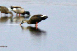 Spot-billed Duck, May 29, 2007, Clam Lagoon.