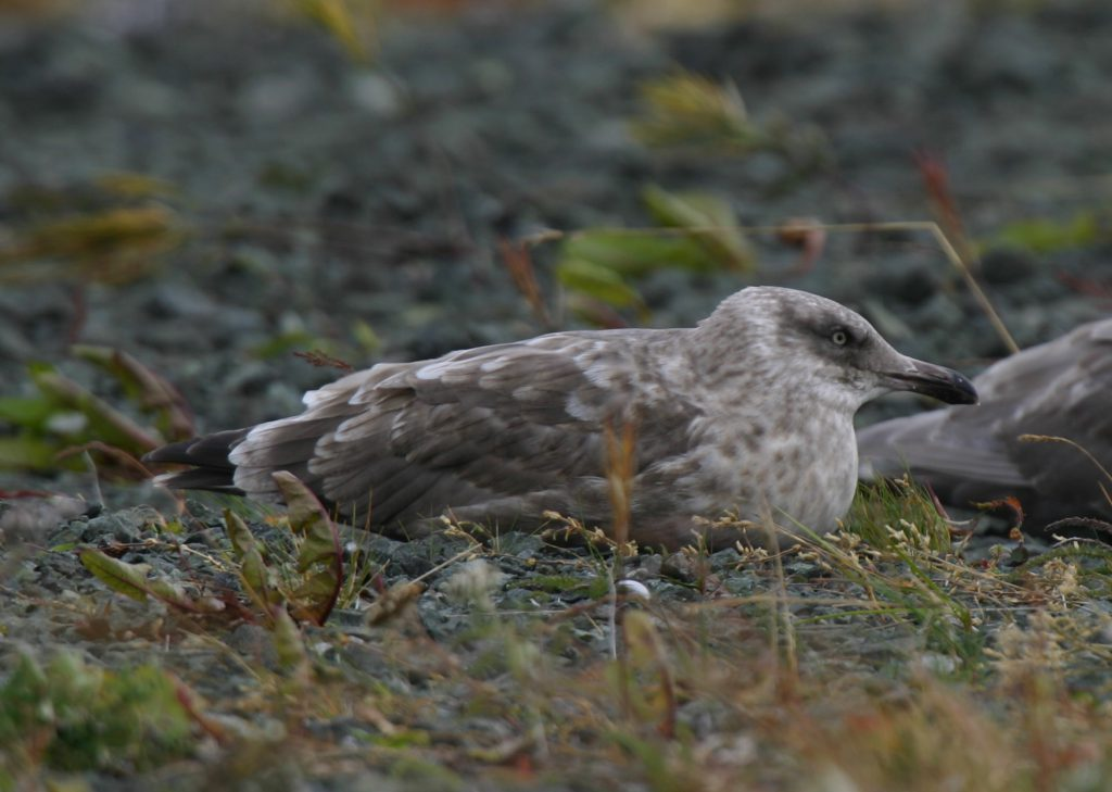 Slaty-backed Gull, Sept 18, 2007, Sweeper Cove.