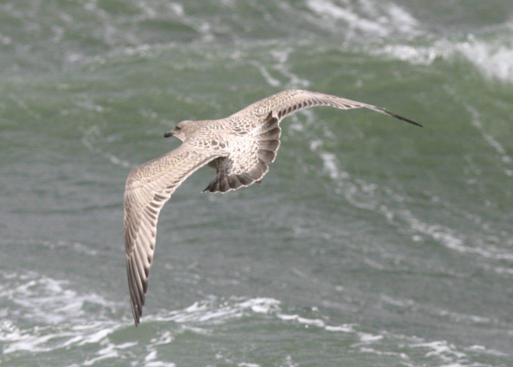 Slaty-backed Gull, Sept 23, 2007, Clam Lagoon.