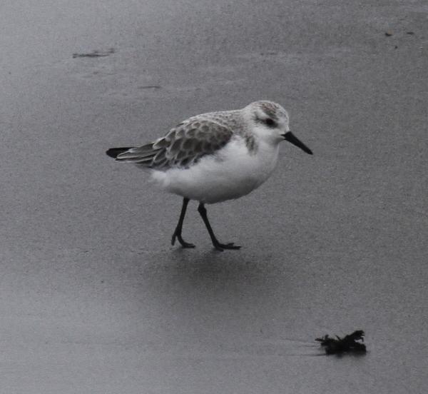 Sanderling, Landing Lights Beach, May 28, 2013