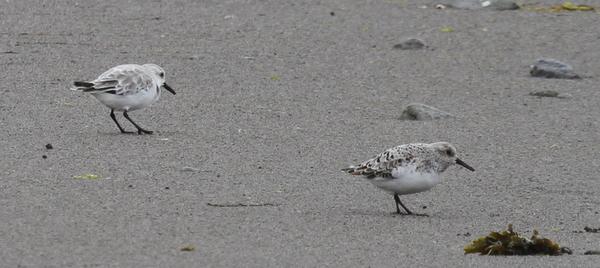 Sanderlings, Clam Lagoon, May 25, 2014.