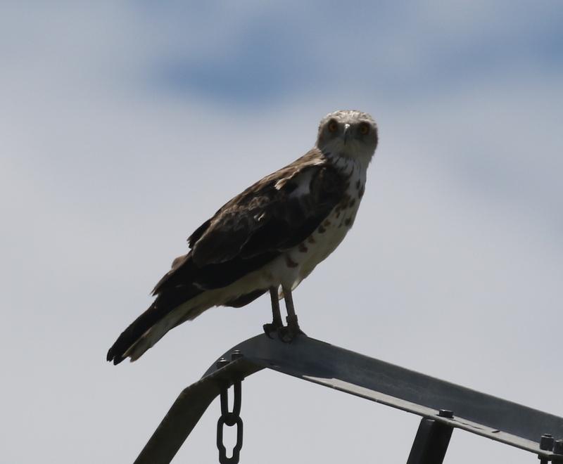 Short-toed Eagle (with leg band), Camargue, France, June 21, 2016