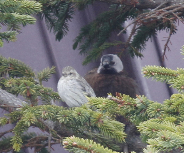 Pine Siskin and Gray-crowned Rosy Finch, Seal Drive Feeder, May 25, 2013